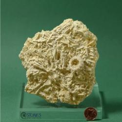Acrosalenia cf. hemicidaroides